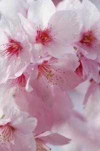 京都 桜の季節 前撮り